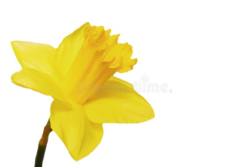 Fleur jaune de narcisse à l'arrière-plan blanc images stock