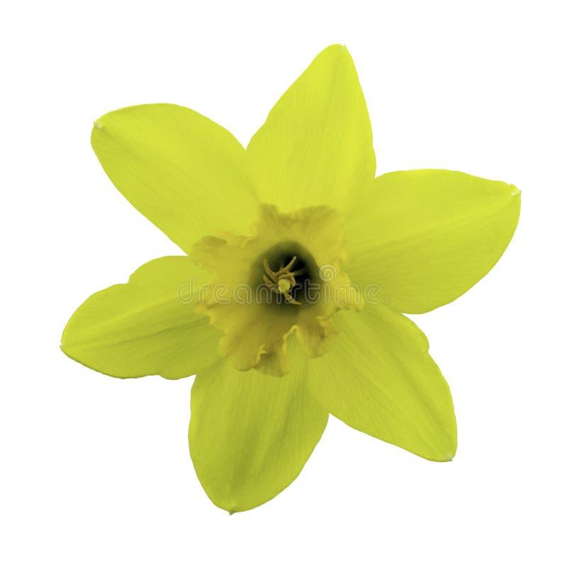 Fleur jaune de narcisse d'isolement sur le fond blanc image stock