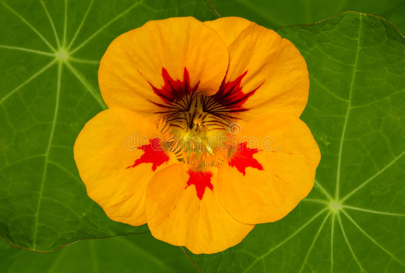 Fleur jaune de nasturce photographie stock