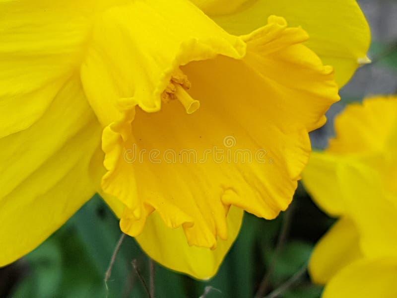 Fleur jaune de Pâques en nature photos libres de droits