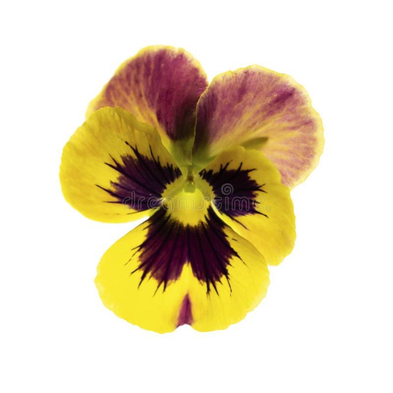 Fleur jaune de fleur de pensée d'isolement sur le fond blanc image libre de droits