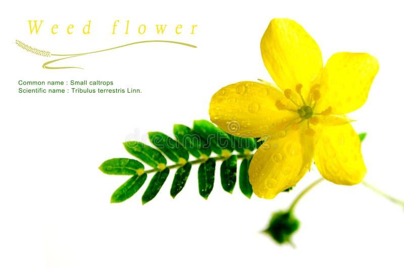 Fleur jaune de petite mauvaise herbe de caltrops, fleur d'isolement sur b blanc photographie stock
