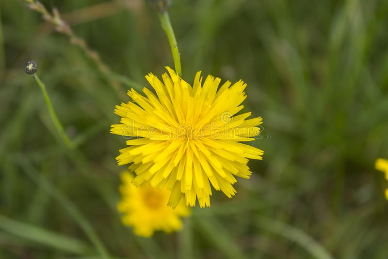 Fleur jaune de pissenlit d'en haut photographie stock