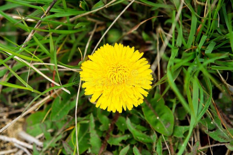 Fleur jaune de pissenlit dans l'herbe image stock