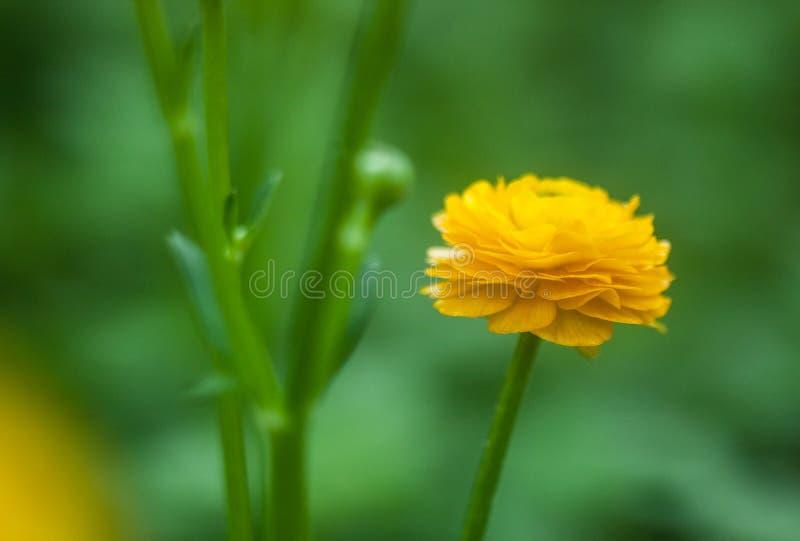 Fleur jaune de renoncule photo libre de droits