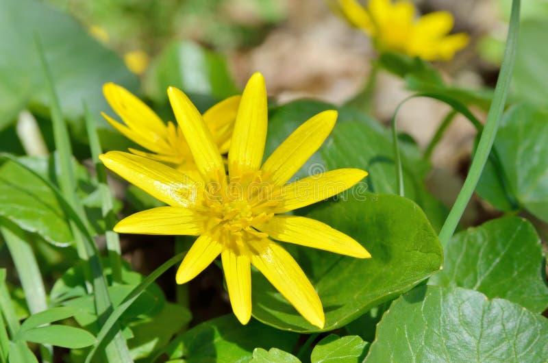 fleur jaune de renoncule fleurissant au printemps dans les bois image stock image du fleurs. Black Bedroom Furniture Sets. Home Design Ideas