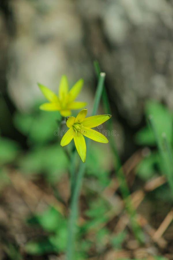 Fleur jaune de renoncule fleurissant au printemps dans les bois photo libre de droits