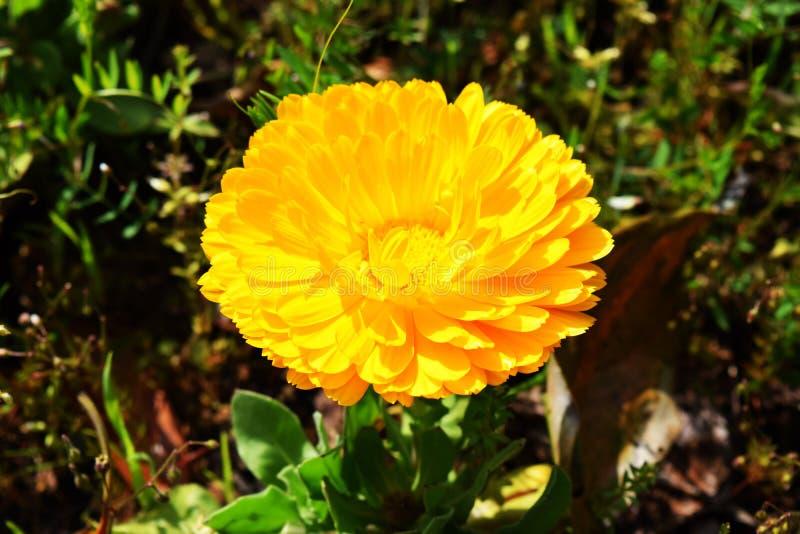 Fleur jaune de soleil image stock