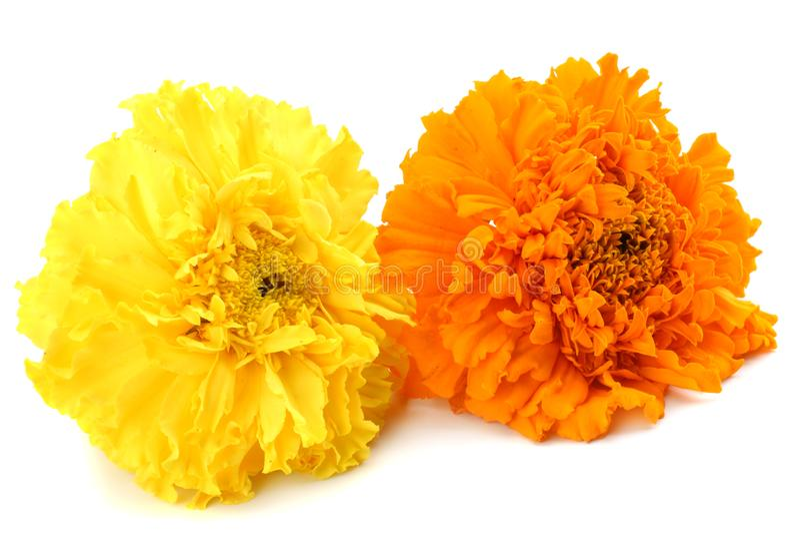 fleur jaune de souci, erecta de Tagetes, souci mexicain, souci aztèque, souci africain d'isolement sur le fond blanc images libres de droits