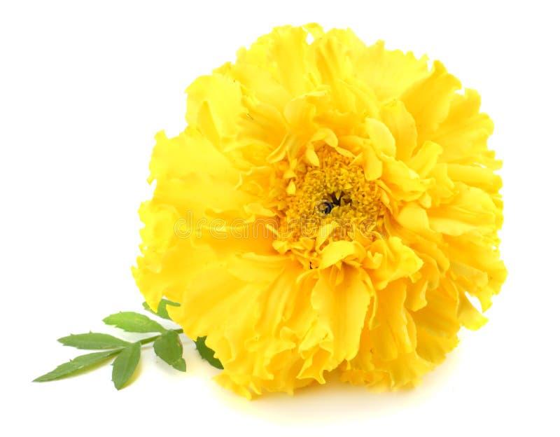 fleur jaune de souci, erecta de Tagetes, souci mexicain, souci aztèque, souci africain d'isolement sur le fond blanc photos libres de droits