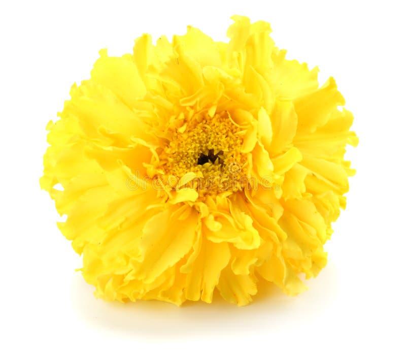 fleur jaune de souci, erecta de Tagetes, souci mexicain, souci aztèque, souci africain d'isolement sur le fond blanc photographie stock
