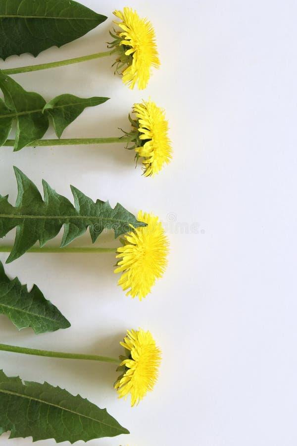 Fleur jaune de source Pissenlit d'isolement sur le fond blanc Carte de Pâques avec l'espace pour vos salutations photos libres de droits
