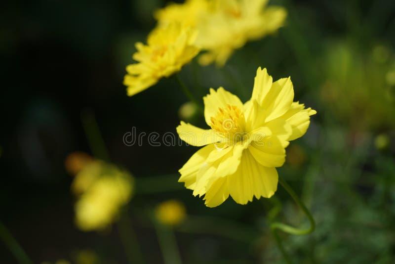 Fleur jaune de starburst photos stock
