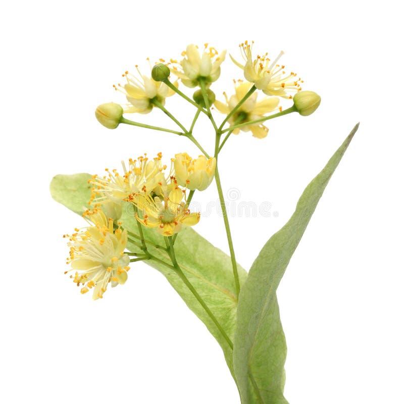 Fleur jaune de tilleul images libres de droits