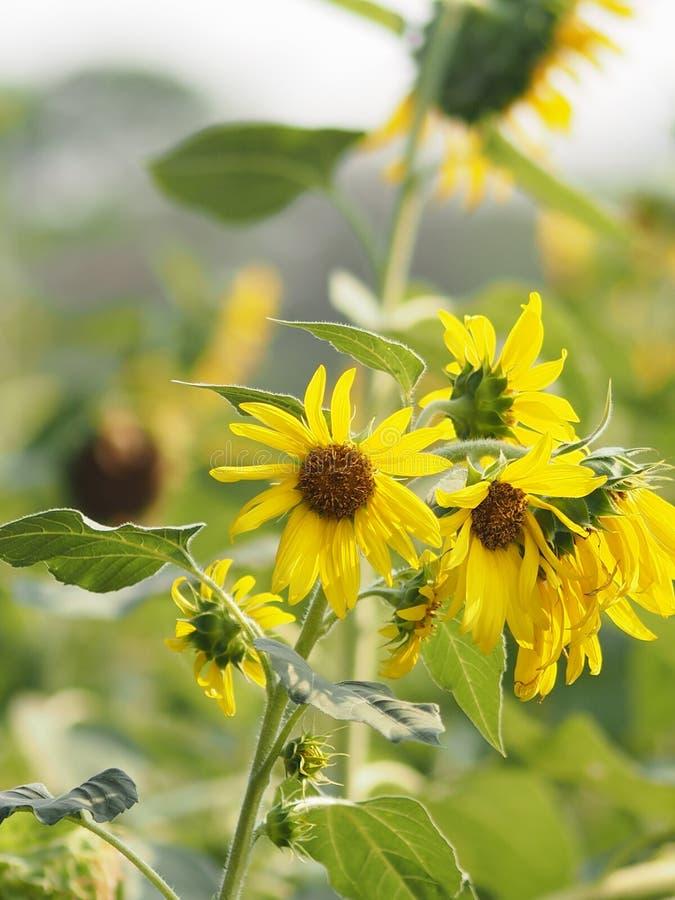 Fleur jaune de tournesol sur le fond de nature de tache floue image libre de droits