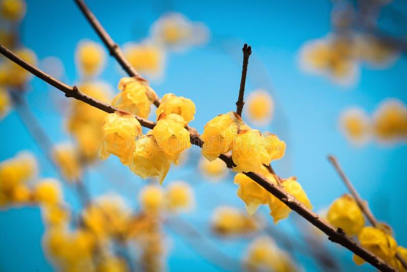 Fleur jaune de wintersweet en hiver image stock