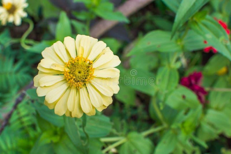 Fleur jaune de Zinnia images stock