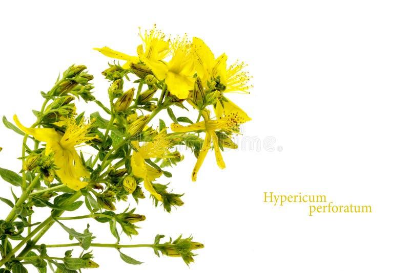 Fleur jaune du moût de St John, perforatum de Hypericum, d'isolement photos stock