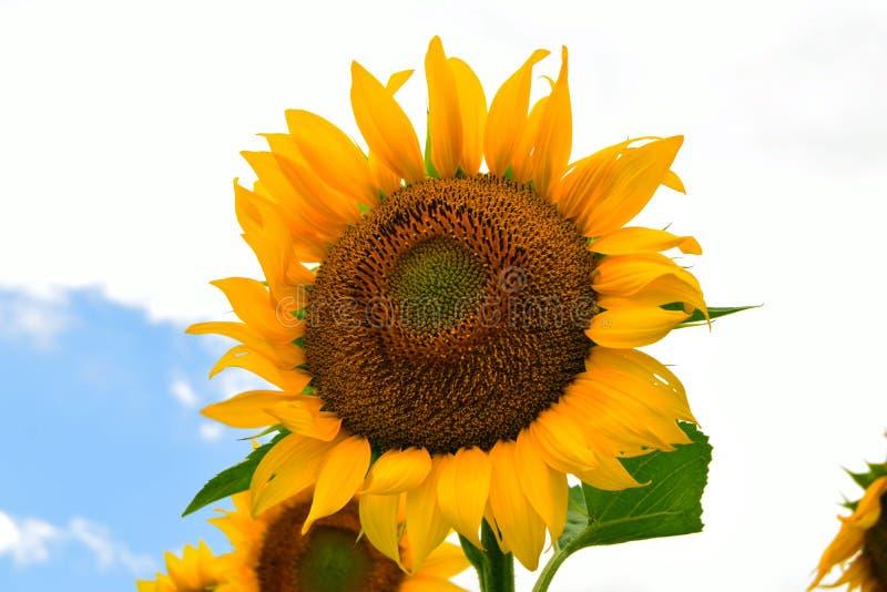 Fleur jaune du soleil images libres de droits