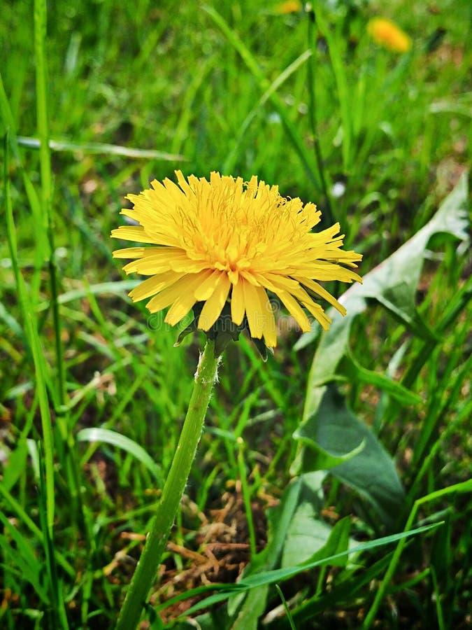 Fleur jaune en vert photo stock