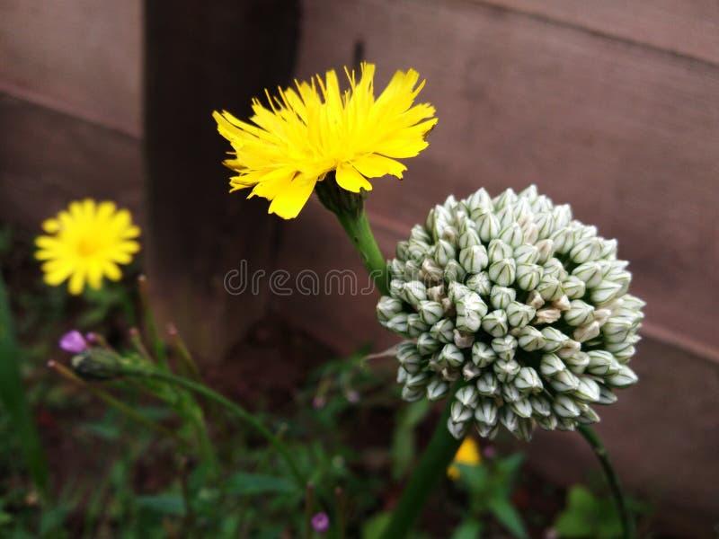 Fleur jaune et fleur d'oignon images libres de droits