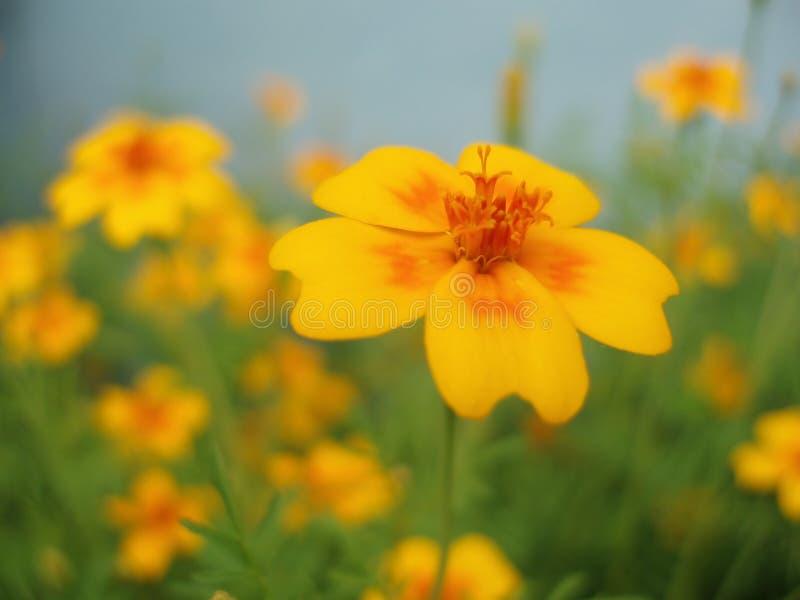 Fleur jaune et orange photos stock