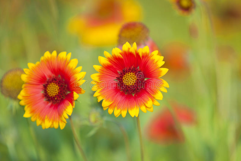 Fleur jaune et rouge images stock