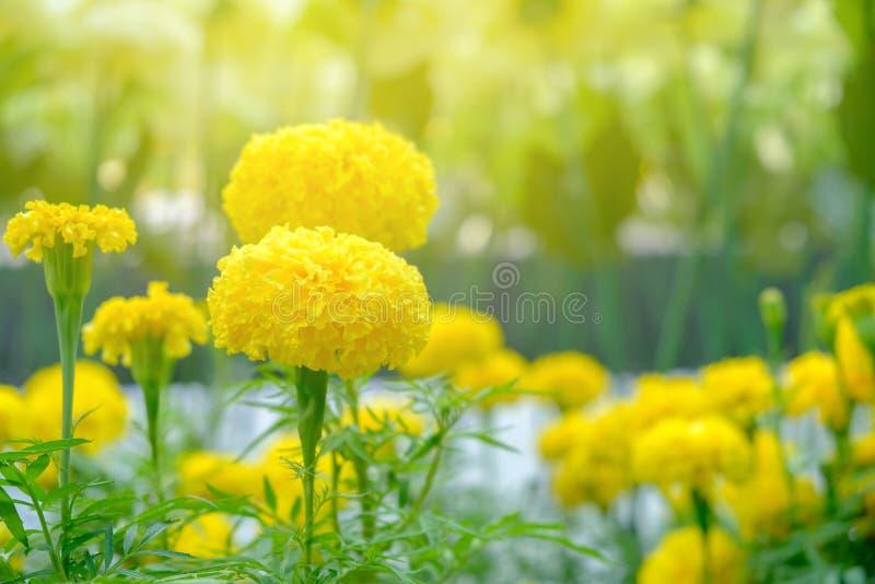 Fleur jaune fleurissant dans la lumière molle et chaude photographie stock libre de droits