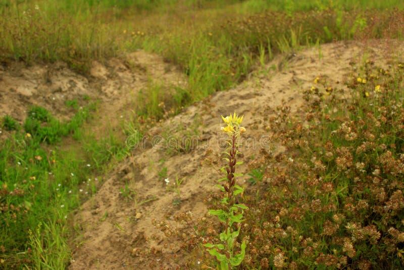 Fleur jaune isolée devant de petites collines vides photo stock
