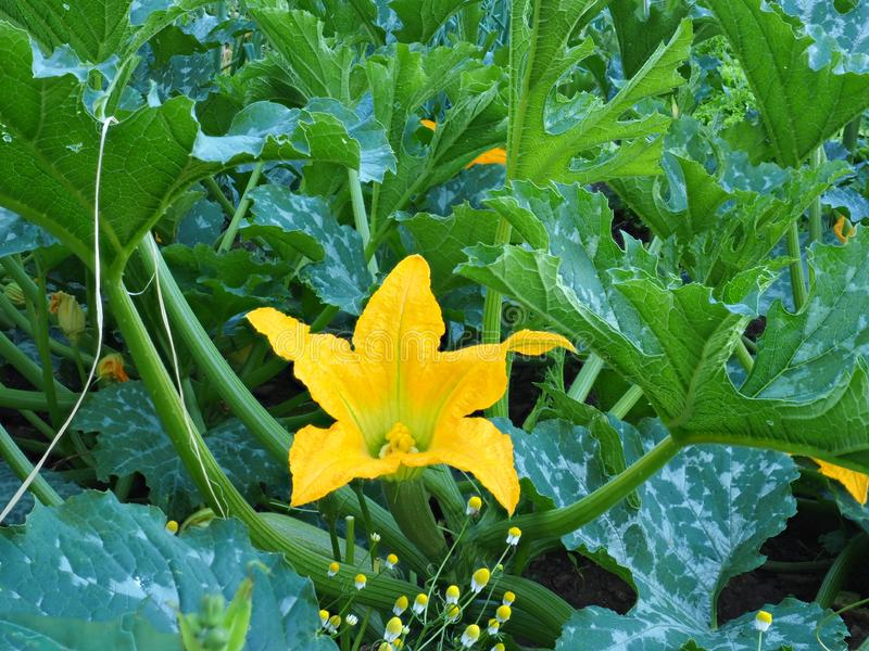 Fleur jaune lumineuse de courgette dans le jardin photographie stock libre de droits