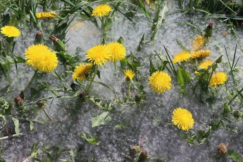 Fleur jaune lumineuse de pissenlits images libres de droits