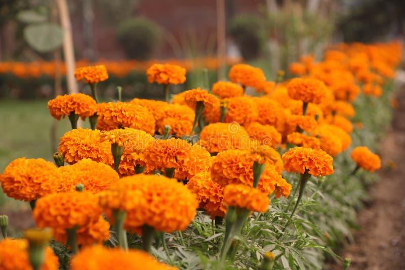 Fleur jaune mexicaine de souci à la saison d'hiver photos stock