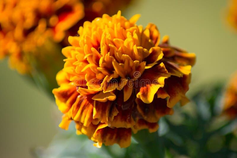 Fleur jaune-orange de souci images stock