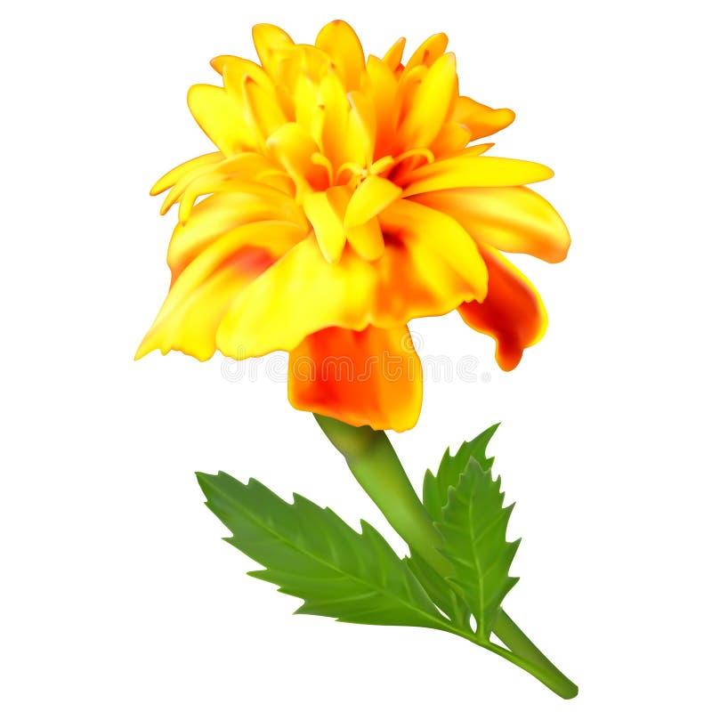 Fleur jaune-orange de souci illustration de vecteur