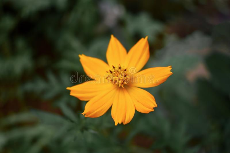 Fleur jaune-orange de Tickseed de Coreopsis photographie stock