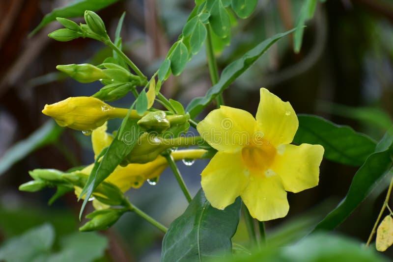 Fleur jaune sauvage photo libre de droits