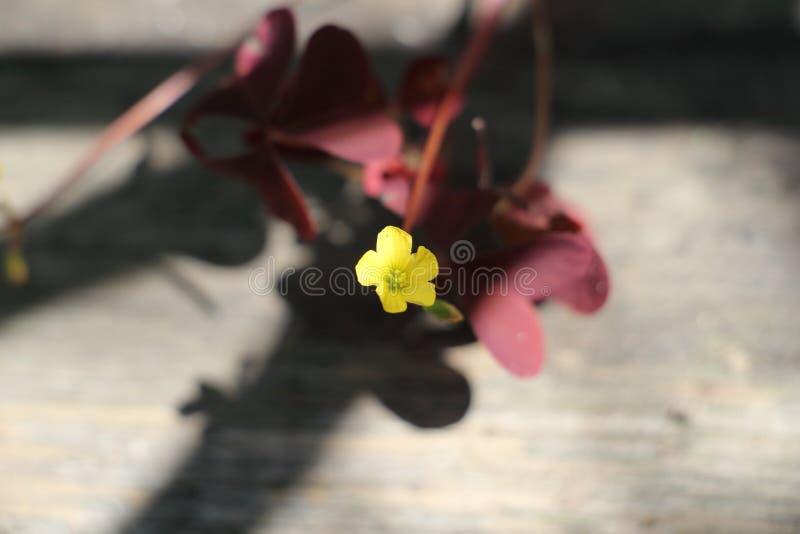 Fleur jaune sensible fragile images stock