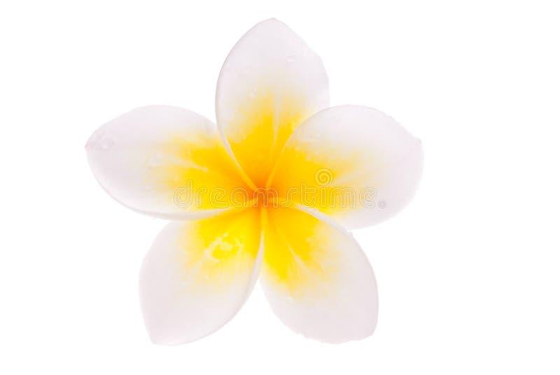 Fleur jaune simple d'isolement de Leelawadee photographie stock