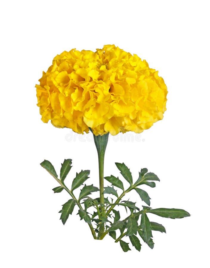 Fleur jaune simple d'un souci d'isolement images libres de droits