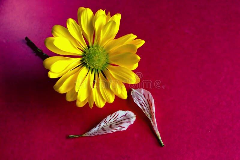 Fleur jaune sur fond rouge, feuilles photographie stock libre de droits