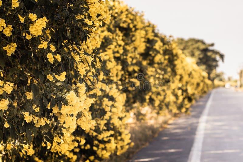 Fleur jaune sur l'arbre à la plante verte de beau ressort de chemin de paysage de nature d'été sur le secteur de pays avec le fon photographie stock