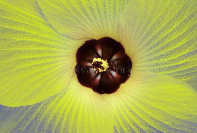 Fleur jaune transparente photographie stock libre de droits