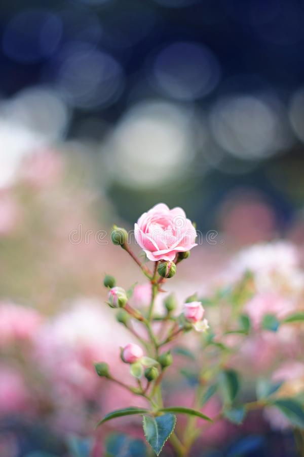 Fleur légèrement rose sensible des roses décoratives images stock