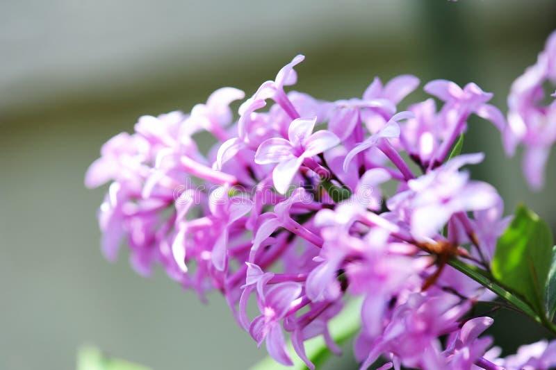 Fleur lilas image libre de droits