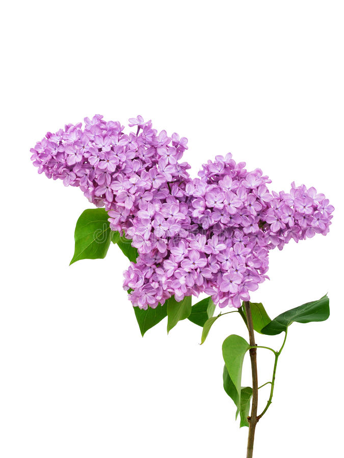 Fleur lilas d'isolement sur le fond blanc - Syringa vulgaris photo stock
