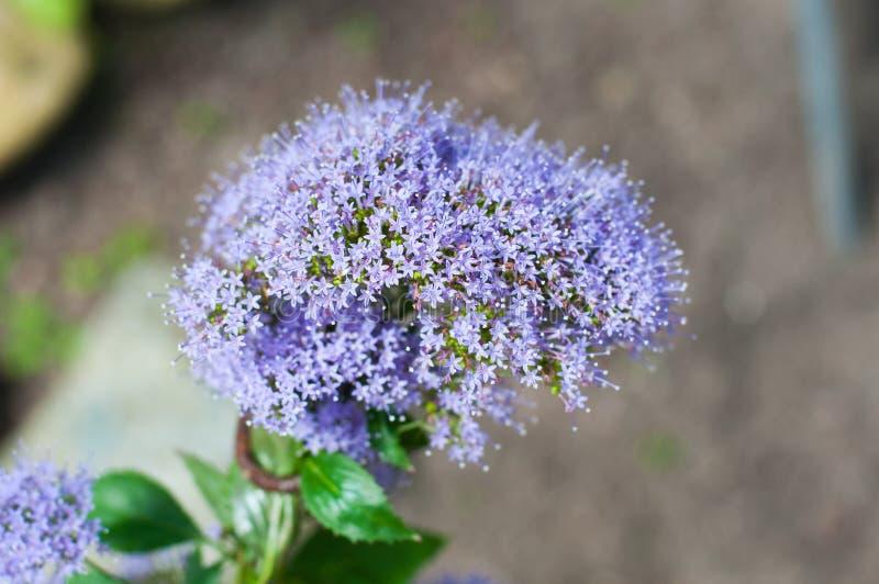 Fleur lilas douce images libres de droits