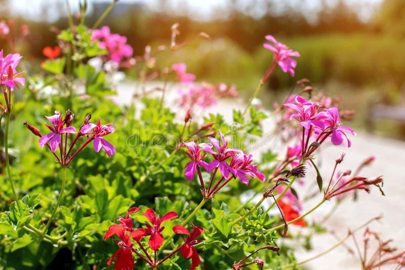 Fleur lilas sur un fond de parc vert Fleur lilas sur un fond de parc vert Fleurs violettes sur un buisson vert image stock