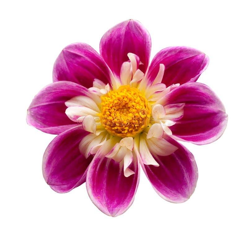Fleur lumineuse d'isolement photos stock