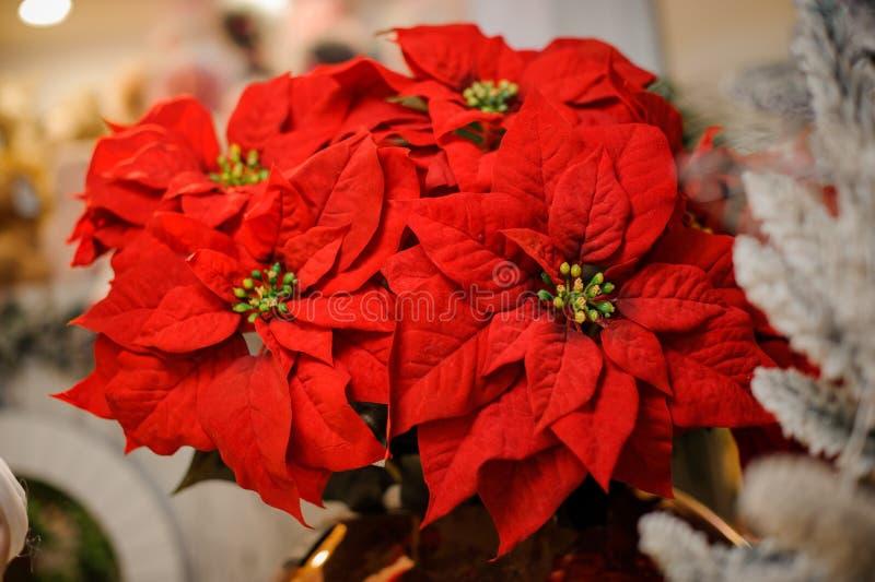 Fleur lumineuse et belle de Noël de poinsettia dans le bouquet photographie stock libre de droits