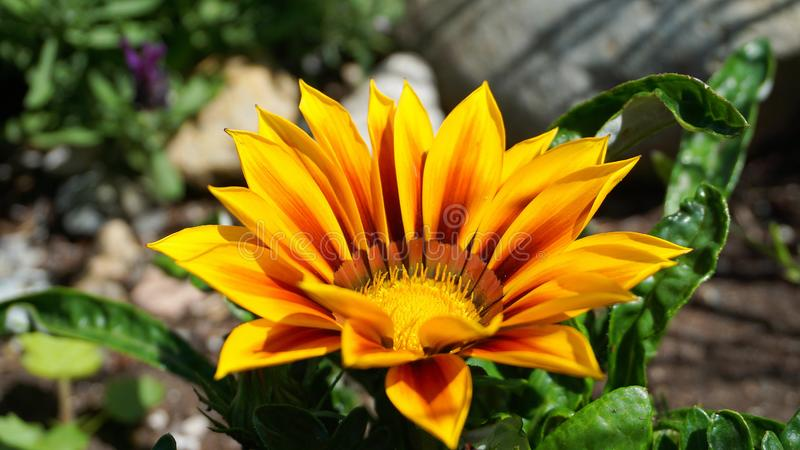 Fleur lumineuse et voyante de Gazania avec les fleurs bicolores impressionnantes d'orange et de jaune dans la fin du soleil de ma photos stock